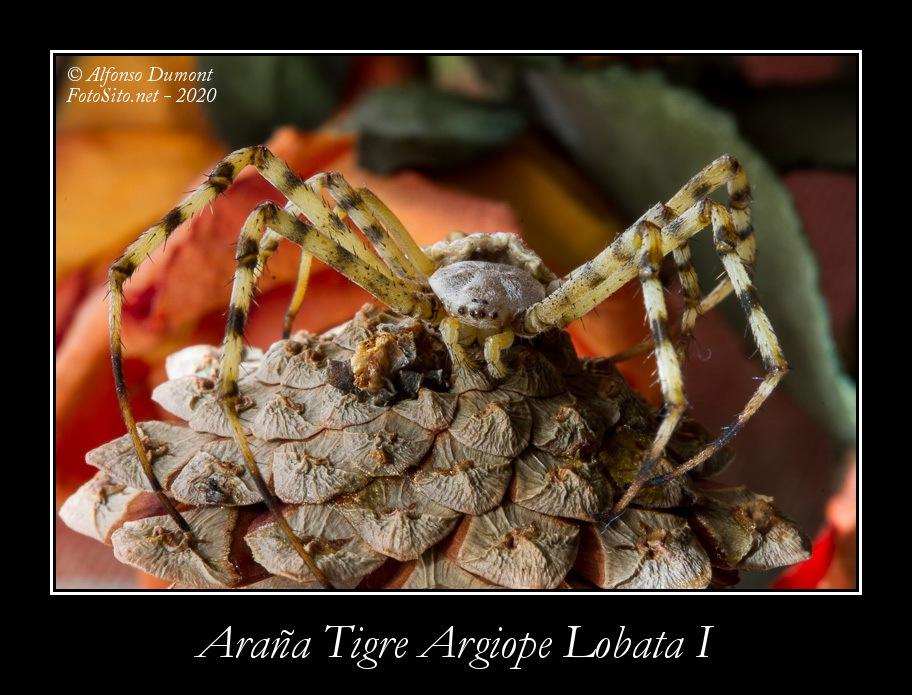 Arana Tigre Argiope Lobata I