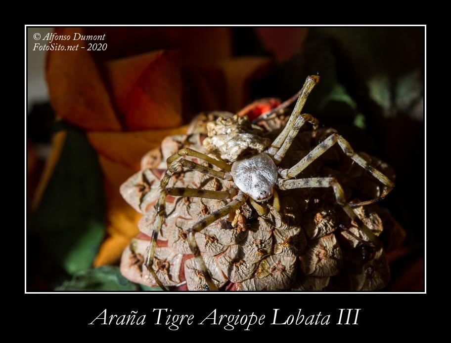 Arana Tigre Argiope Lobata III