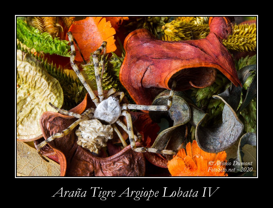 Arana Tigre Argiope Lobata IV