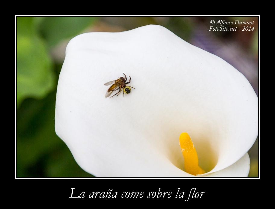 La arana come sobre la flor