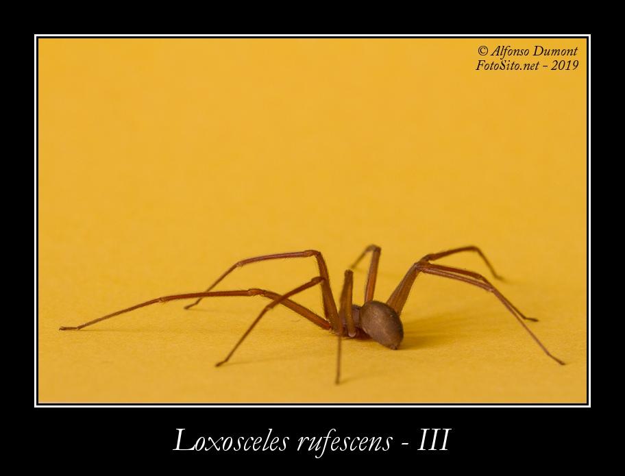 Loxosceles rufescens III