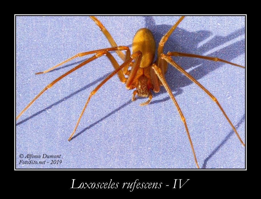 Loxosceles rufescens IV