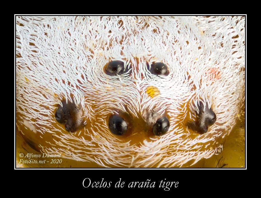 Ocelos de arana tigre
