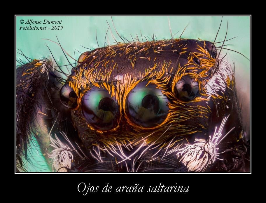 Ojos de arana saltarina