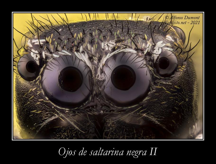 Ojos de saltarina negra II