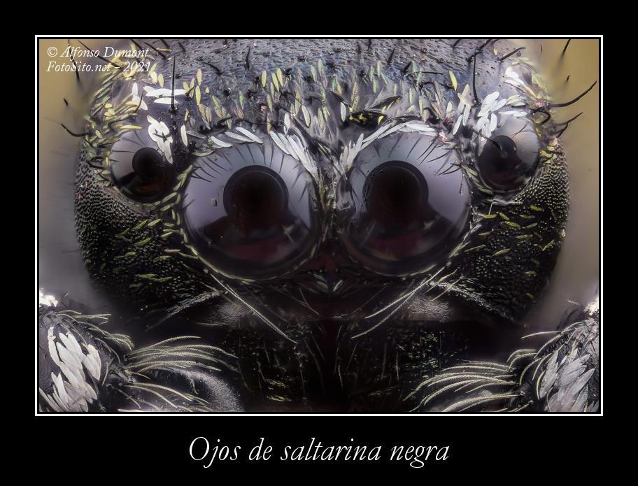 Ojos de saltarina negra