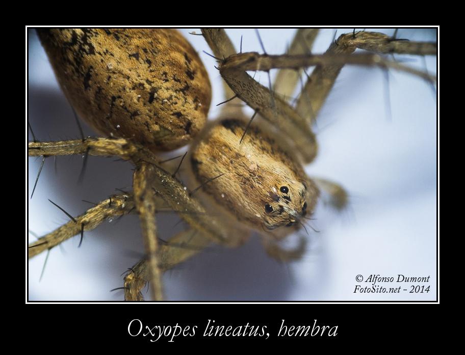 Oxyopes lineatus hembra