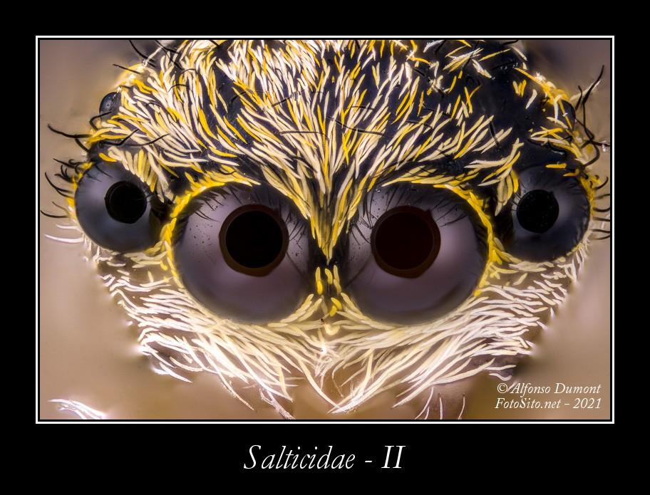 Salticidae II