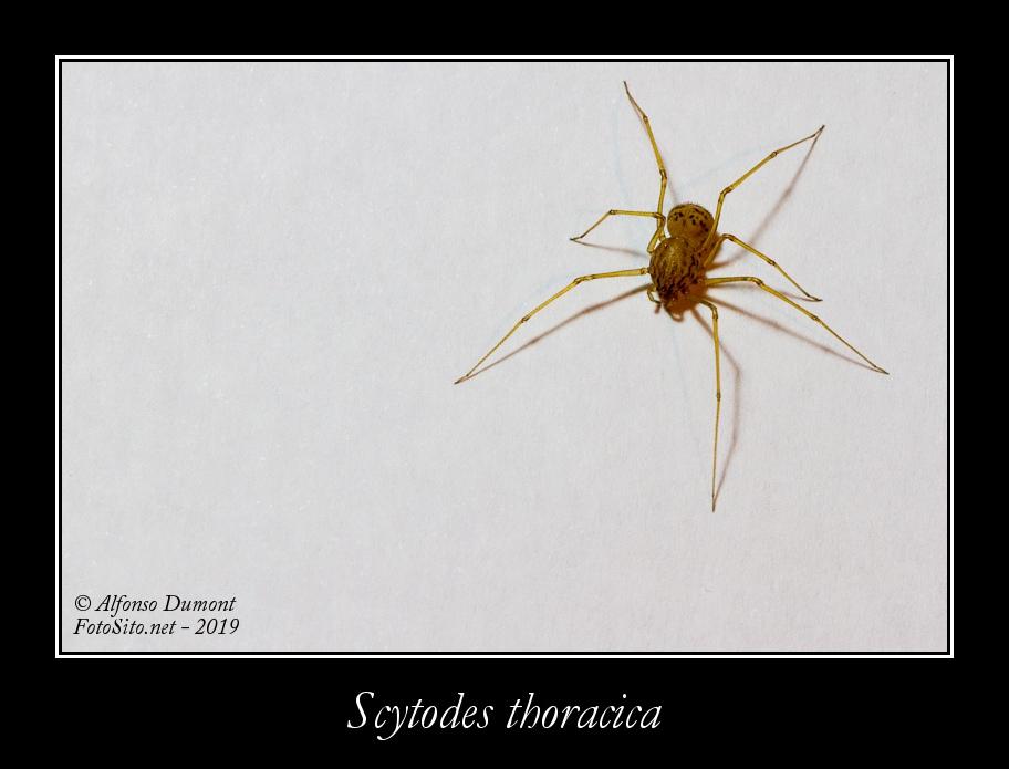 Scytodes thoracica