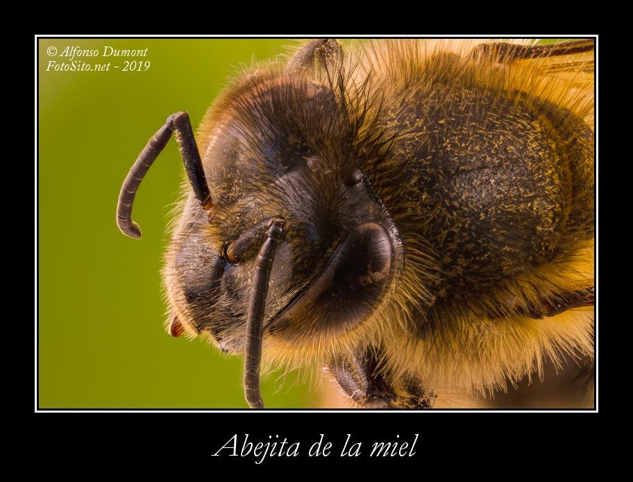 Abejita de la miel