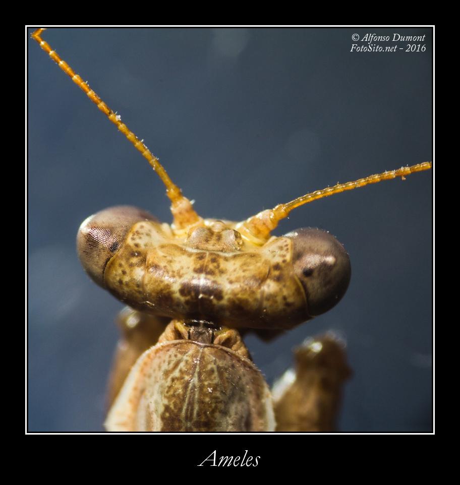Ameles