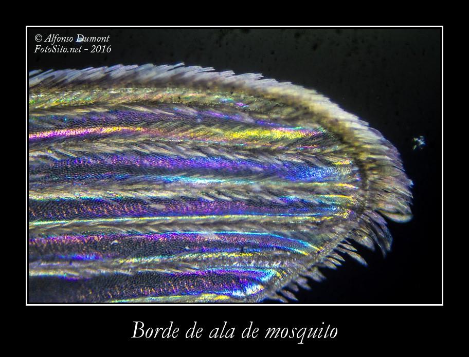 Borde de ala de mosquito
