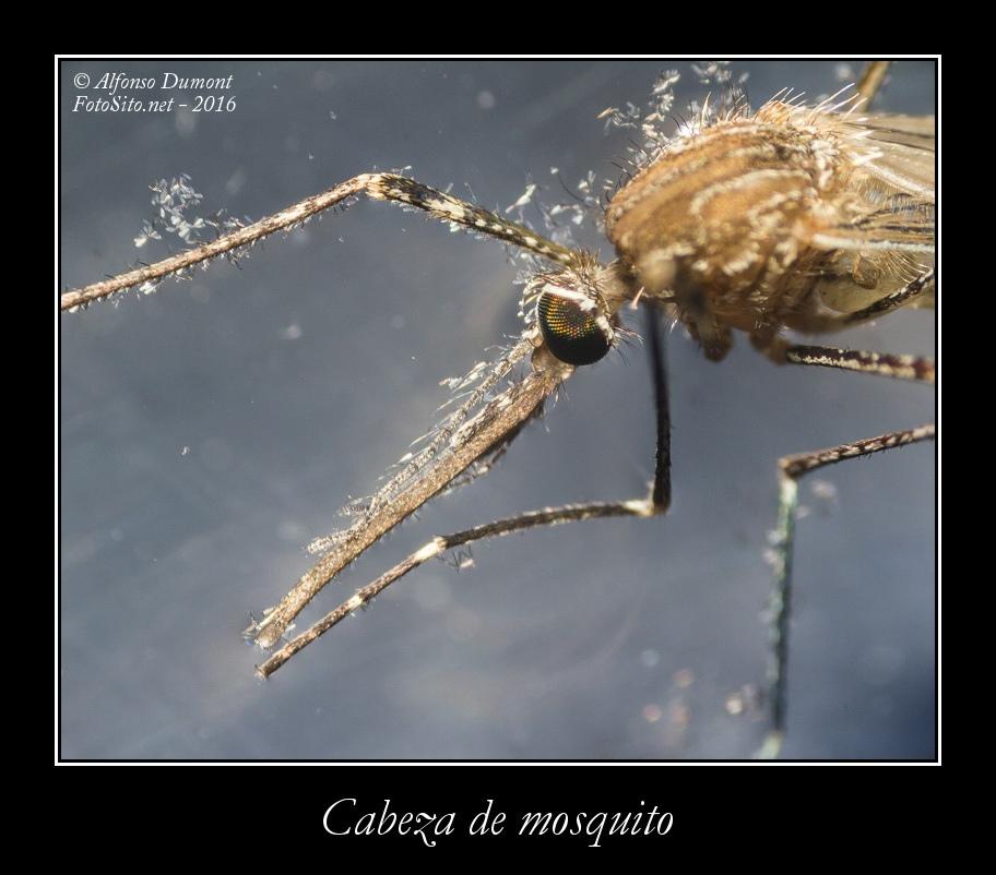 Cabeza de mosquito