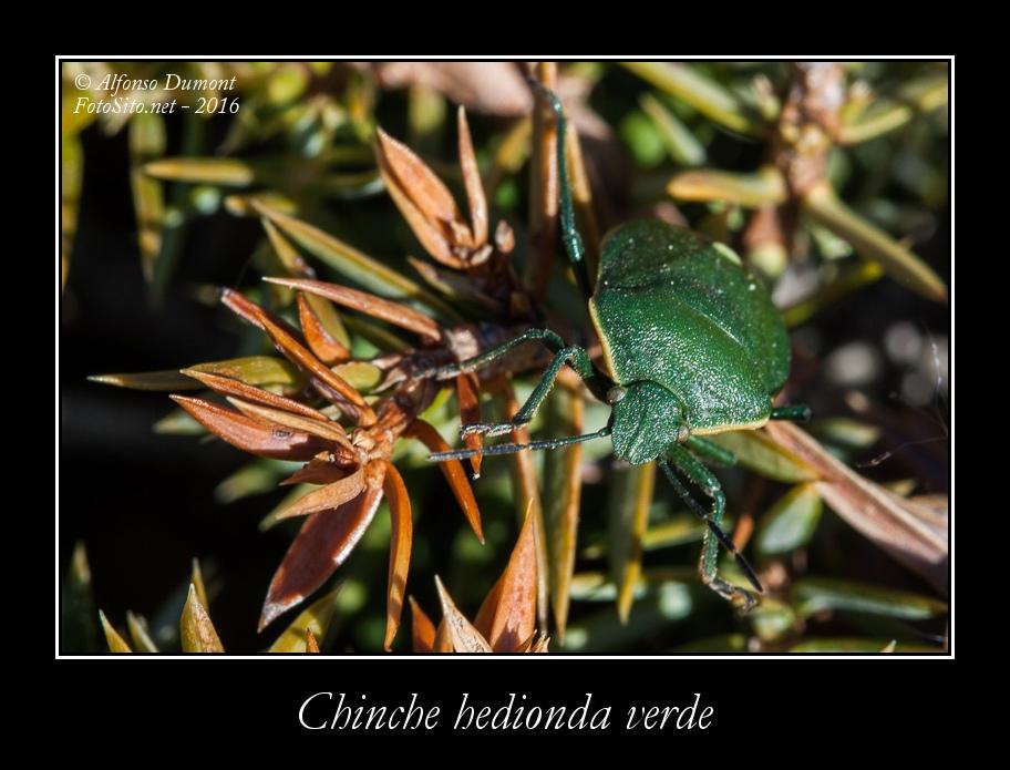 Chinche hedionda verde
