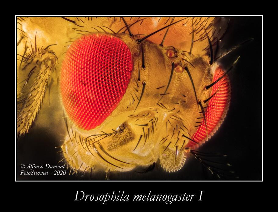 Drosophila melanogaster I