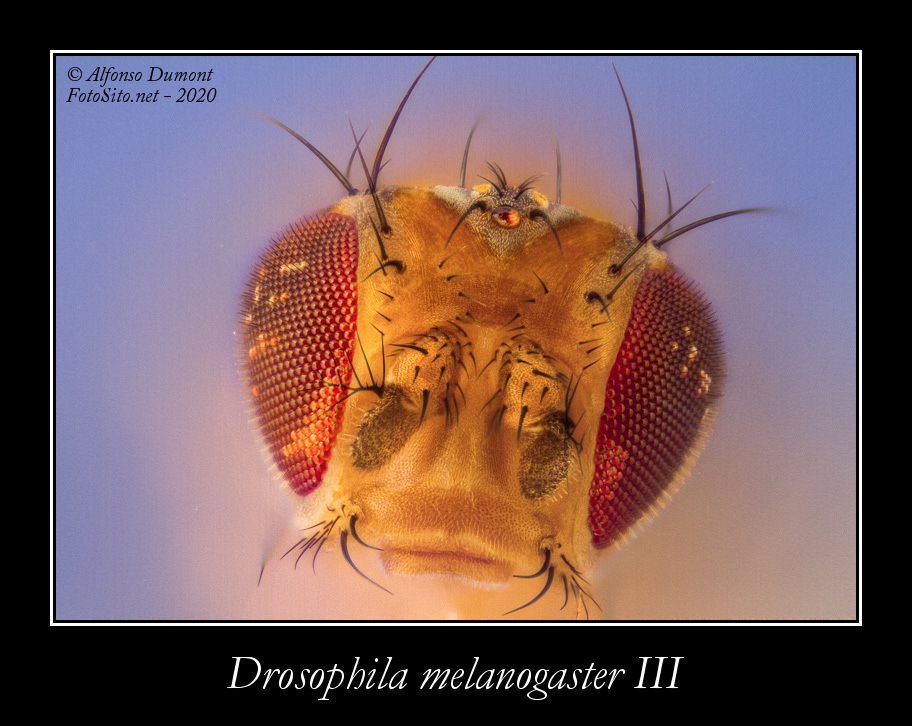 Drosophila melanogaster III