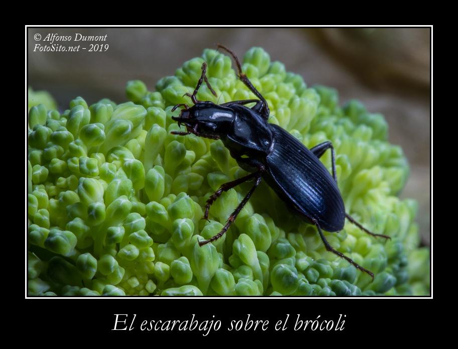El escarabajo sobre el brocoli
