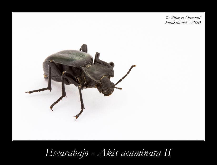 Escarabajo Akis acuminata II
