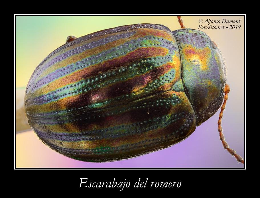 Escarabajo del romero