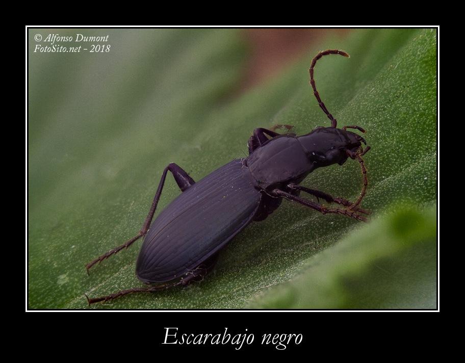 Escarabajo negro