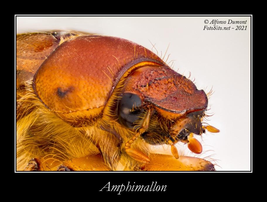 Amphimallon