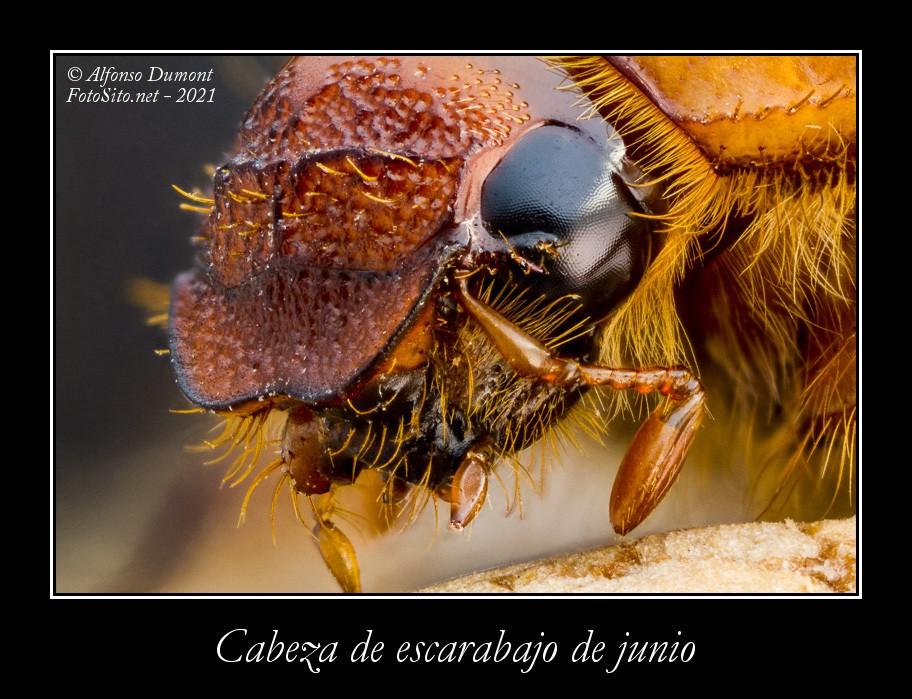Cabeza de escarabajo de junio
