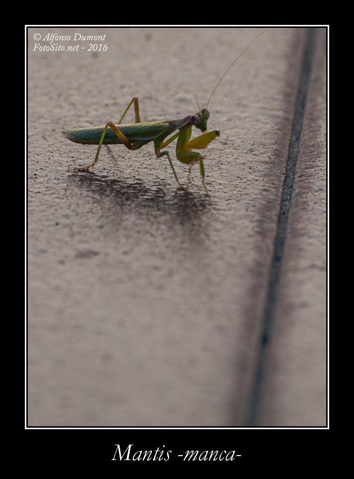 Mantis manca