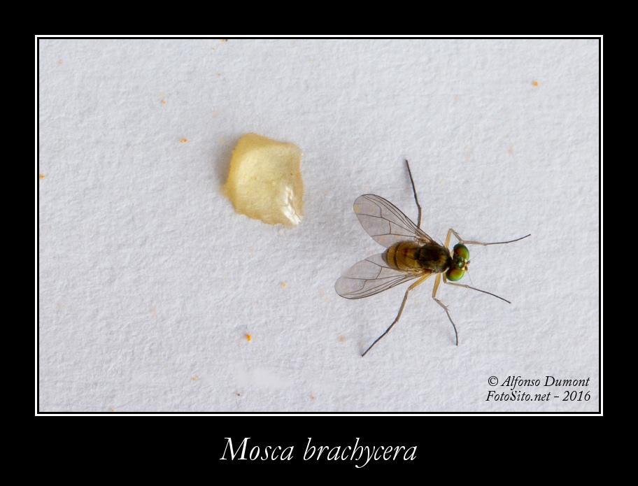 Mosca brachycera