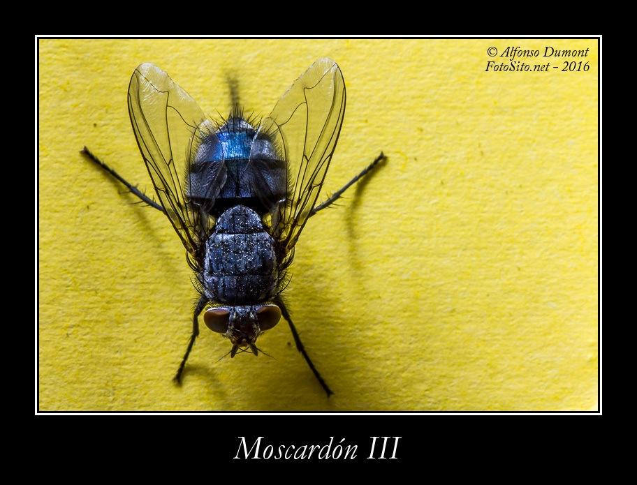 Moscardon III
