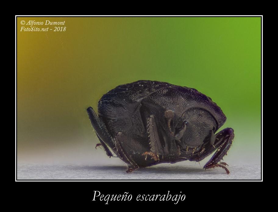 Pequeno escarabajo