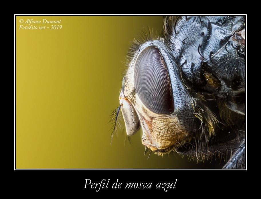 Perfil de mosca azul