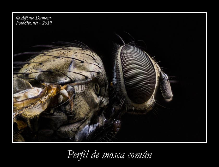 Perfil de mosca comun