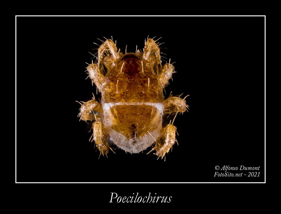 Poecilochirus