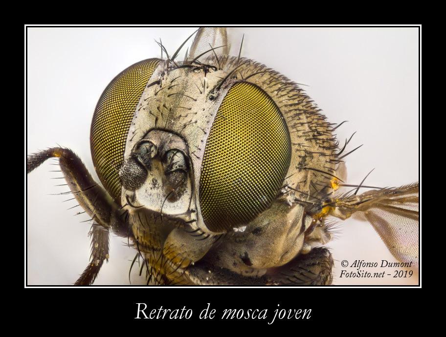 Retrato de mosca joven