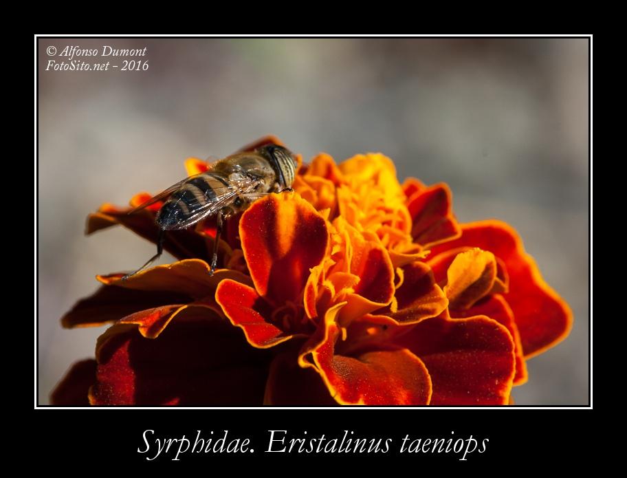 Syrphidae. Eristalinus taeniops