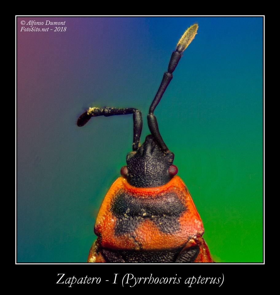 Zapatero I Pyrrhocoris apterus