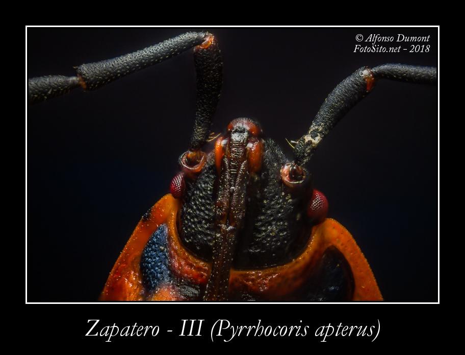 Zapatero III Pyrrhocoris apterus