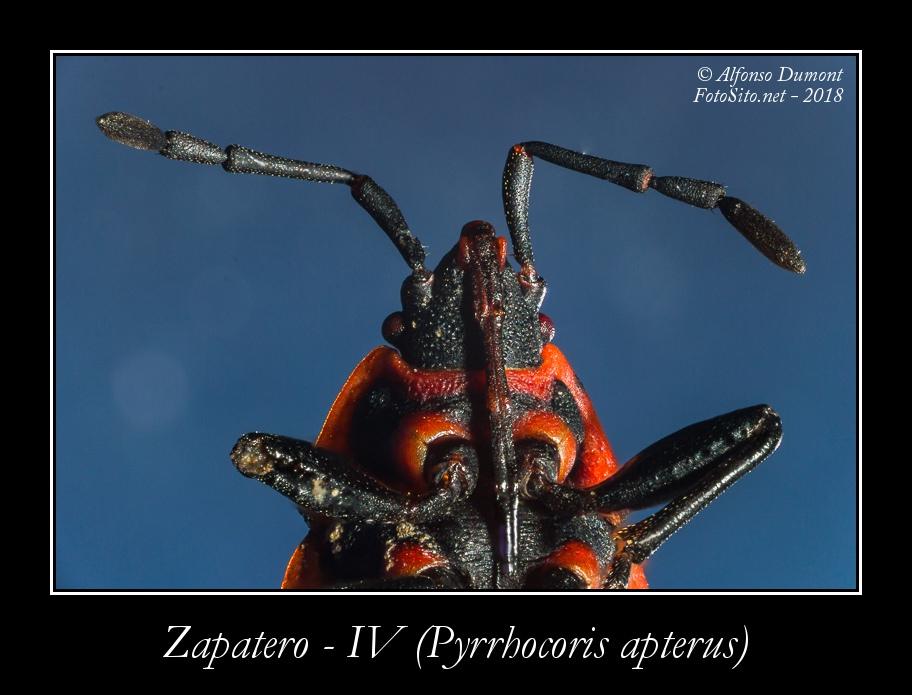 Zapatero IV Pyrrhocoris apterus