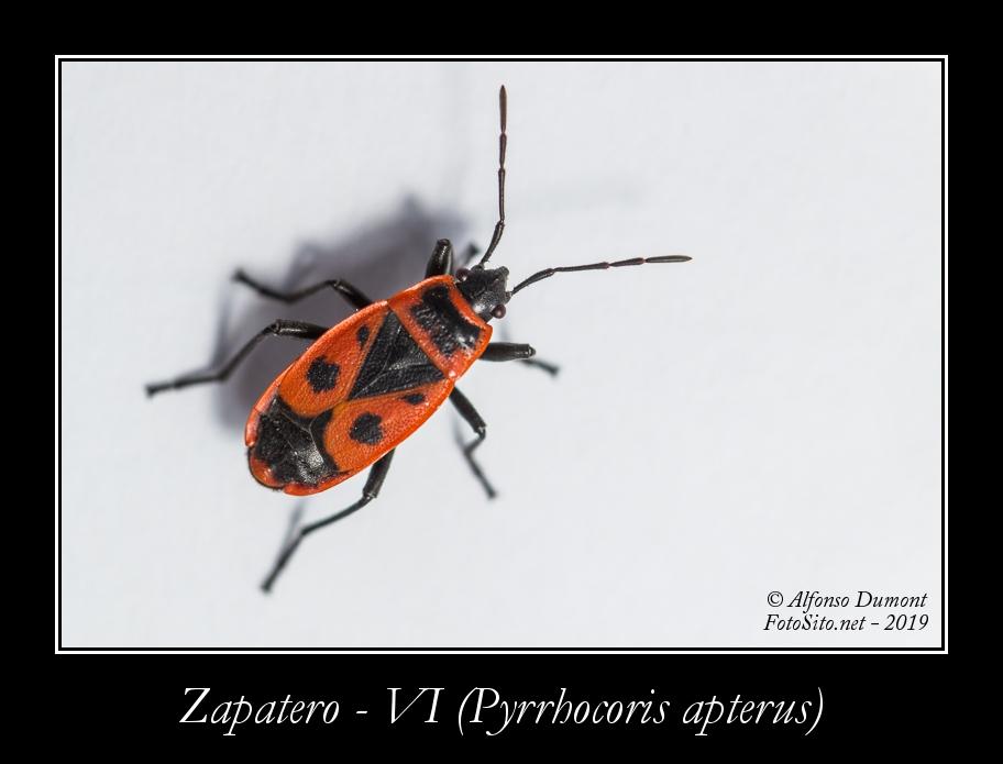 Zapatero VI Pyrrhocoris apterus