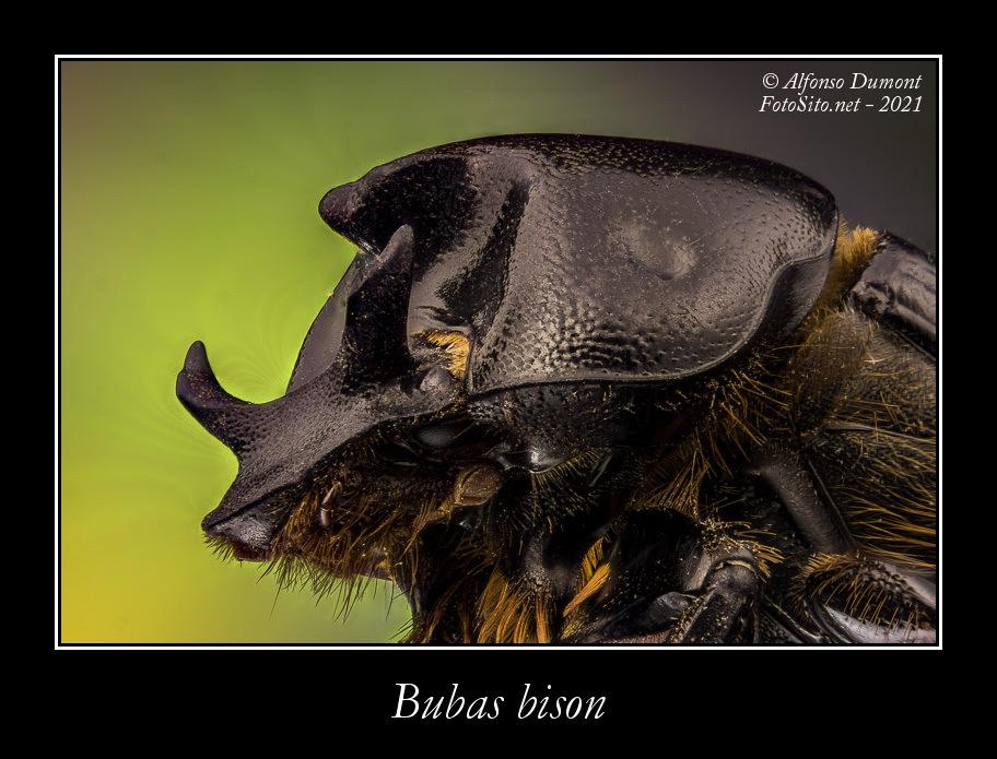 Bubas bison