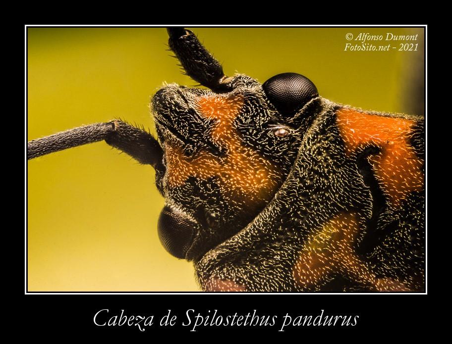Cabeza de Spilostethus pandurus