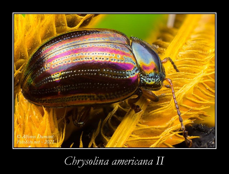 Chrysolina americana II