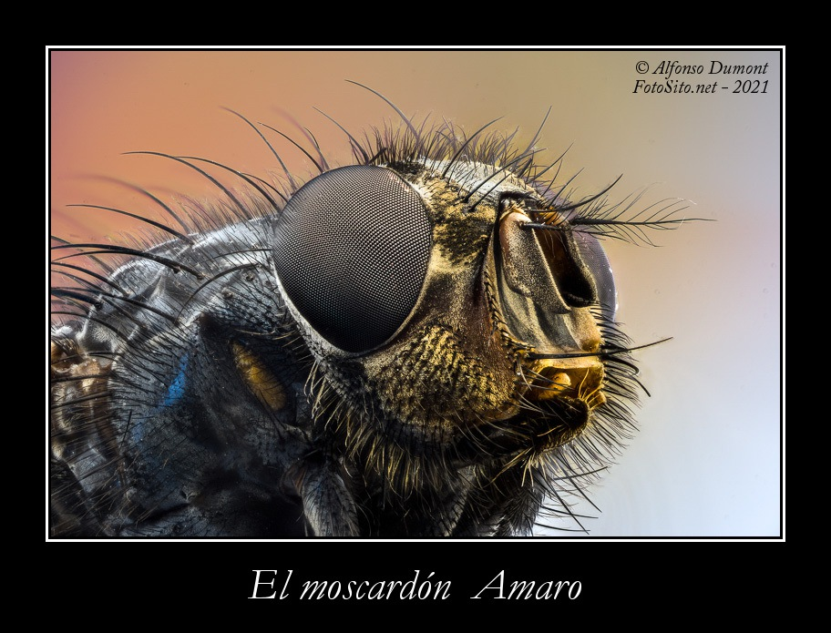 El moscardon Amaro