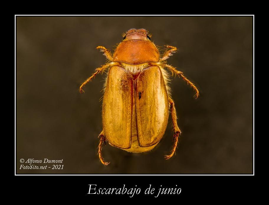 Escarabajo de junio