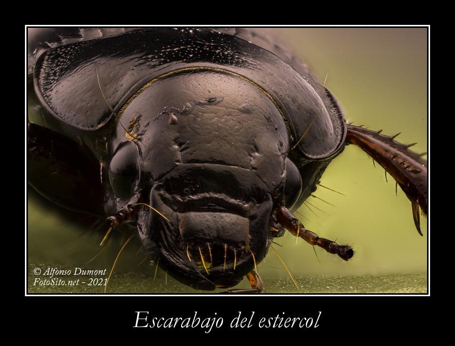 Escarabajo del estiercol