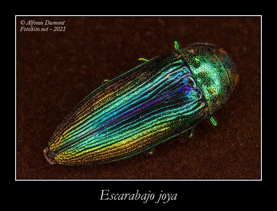 Escarabajo joya