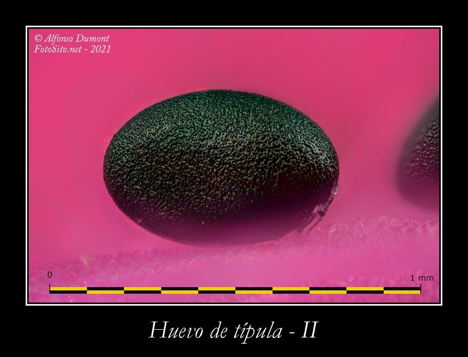 Huevo de tipula II