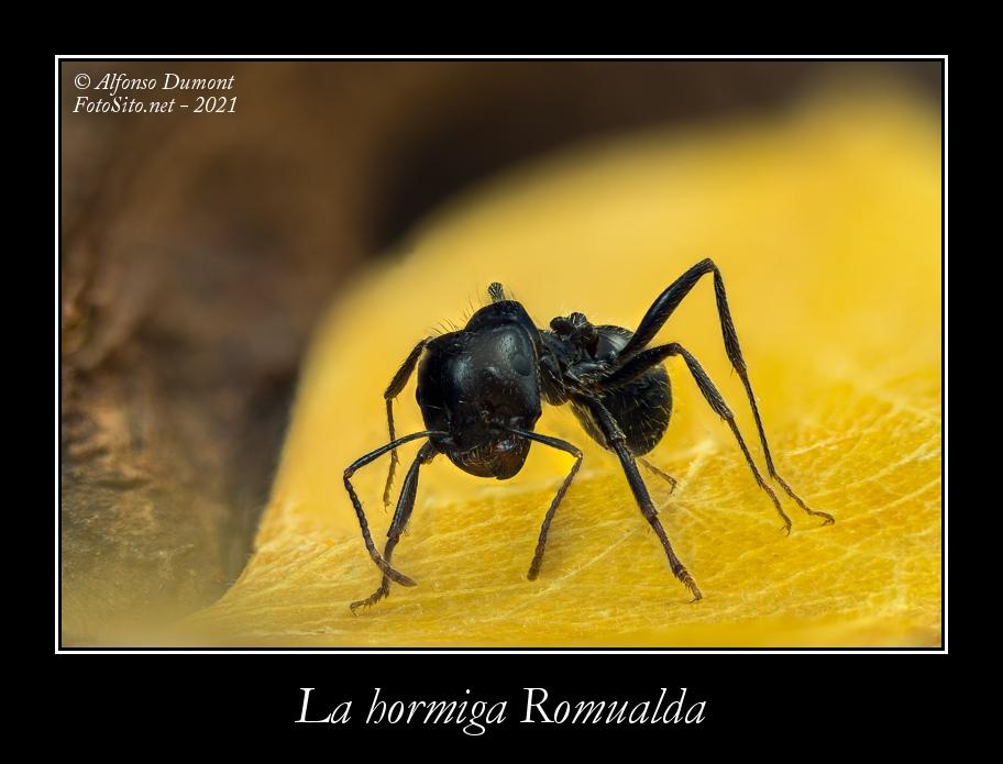La hormiga Romualda