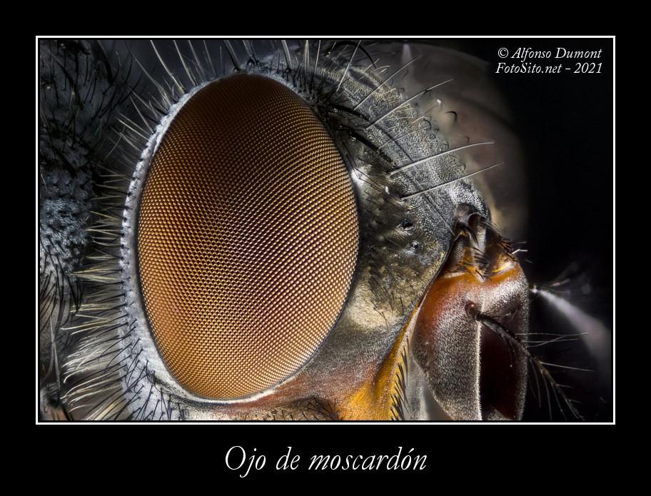 Ojo de moscardon