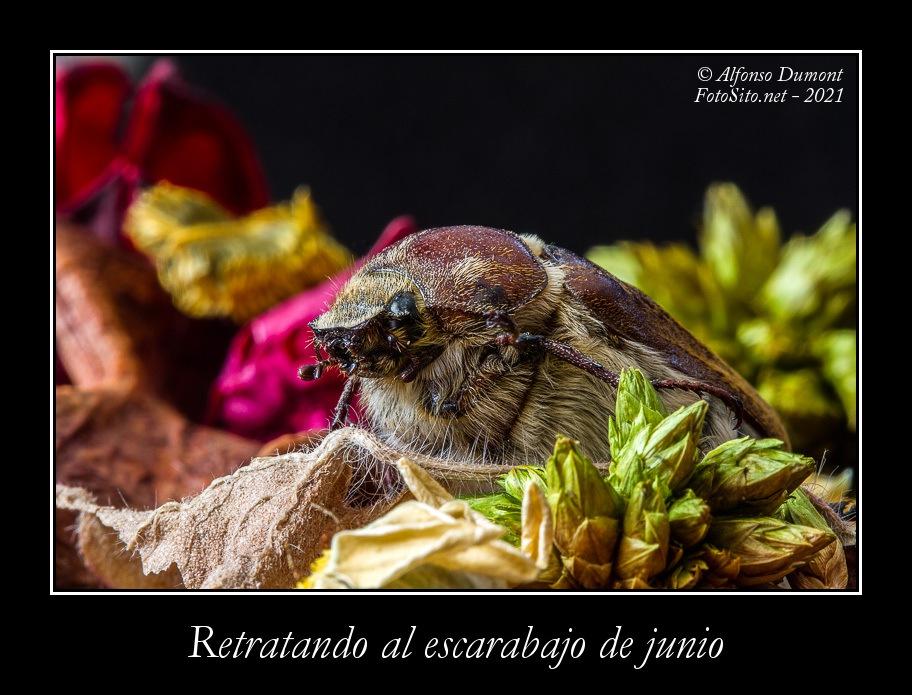 Retratando al escarabajo de junio